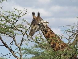 giraffe head above tree, tanzania