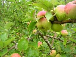 Apple tree with pink apples