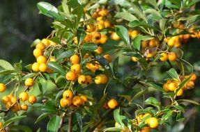sea buckthorn autumn fruits berries