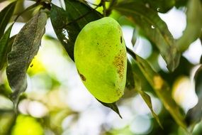 mango tree fruit