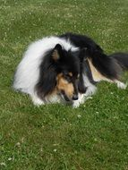 tricolor collie lying on green grass