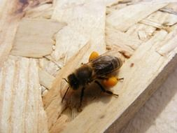 bee on a wooden surface