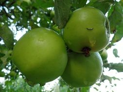 green large apples on a branch