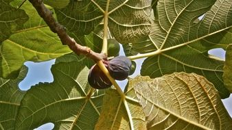 ripe figs on the tree