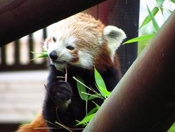 red panda eating leafs