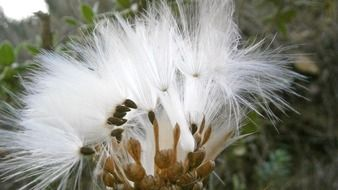 fluffy white thistle flower
