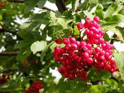 Growing red berries on a tree