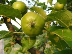 green apples on a branch