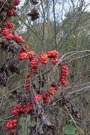 Red poisonous berries