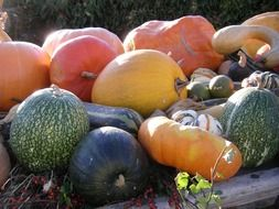 colorful pumpkin of different varieties