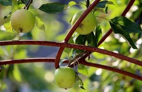 apple fruits tree