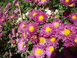 purple chrysanthemums with yellow cores