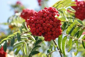 rowan berries fruits