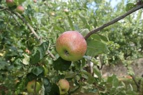 apple orchard autumn tree fruit