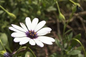 White daisy flower macro photo