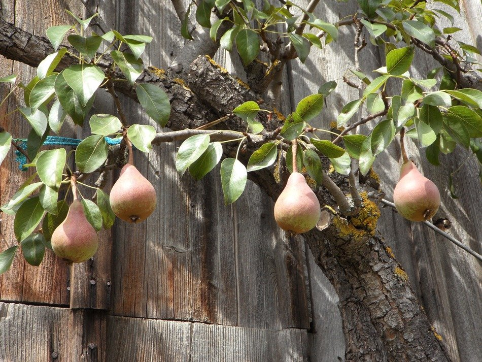 ripe pears on a tree near the barn