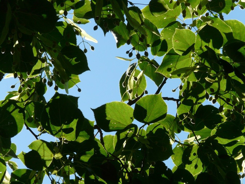 seeds and leaves of linden against the sky
