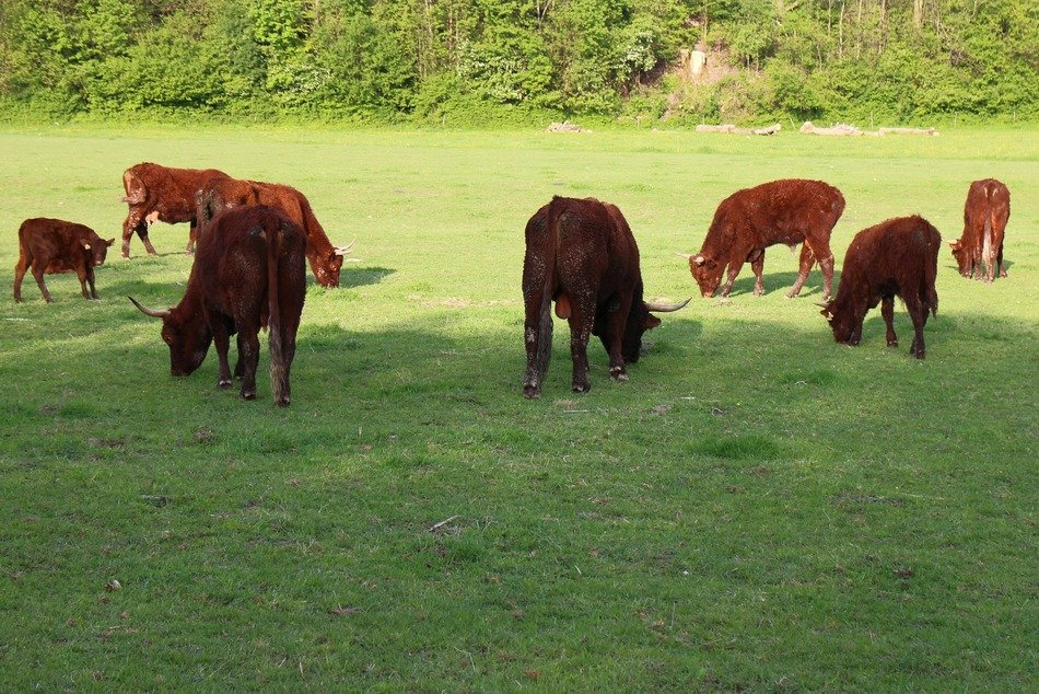 brown cattle on green pasture