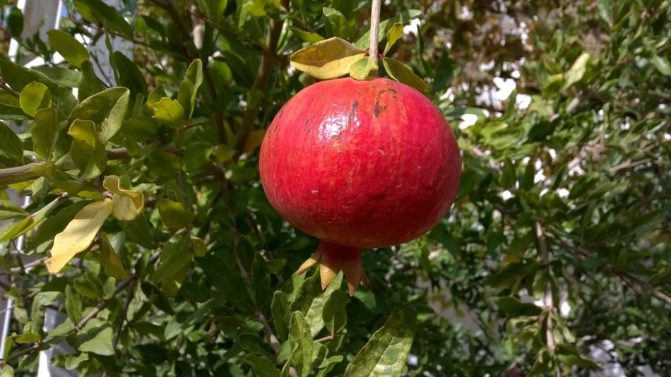 red ripe pomegranate on a branch