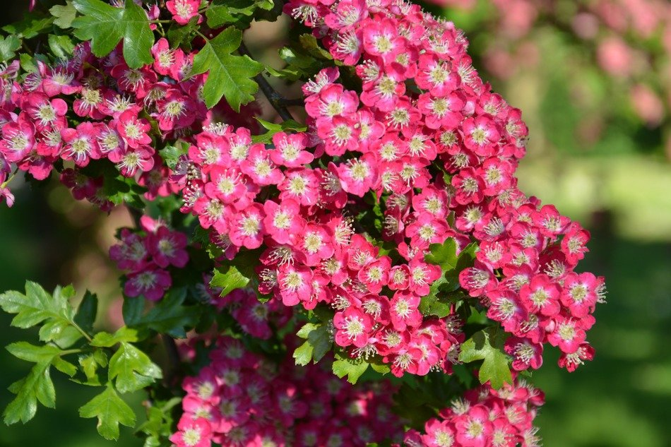 pink little blossoms bush