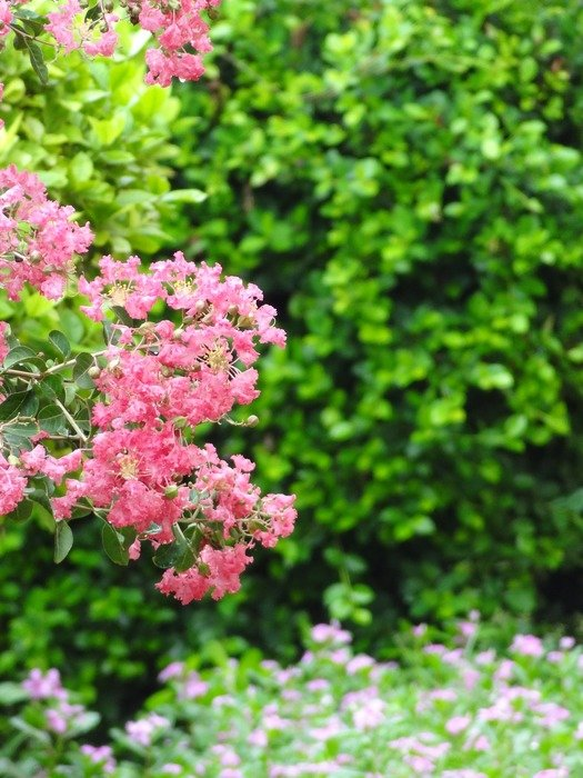 shrub with pink small flowers