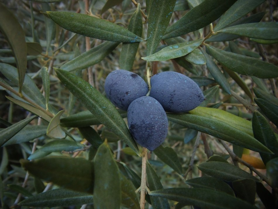 blue olives on a plant