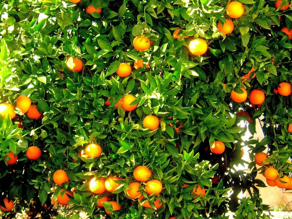 oranges on a green tree in Spain