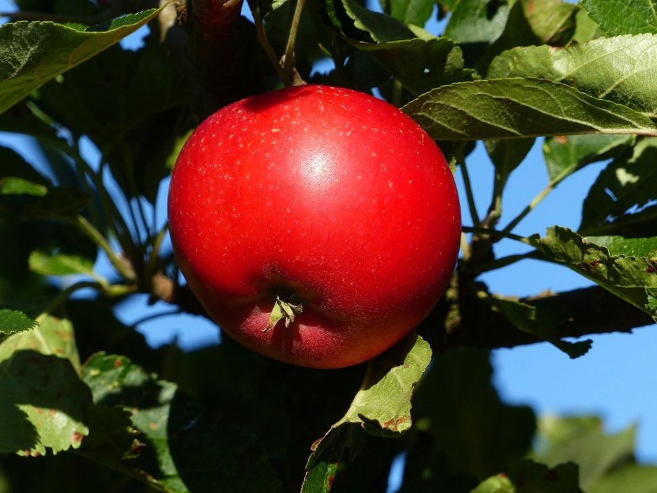 Red apple fruit on a tree branch