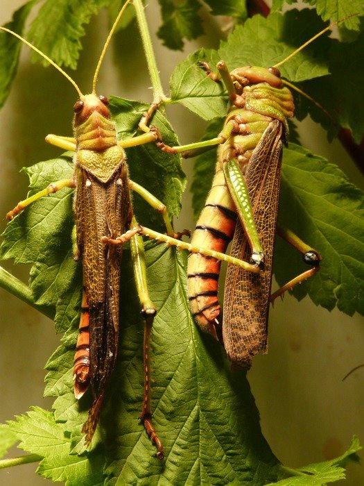 two giant grasshoppers on a green branch close-up