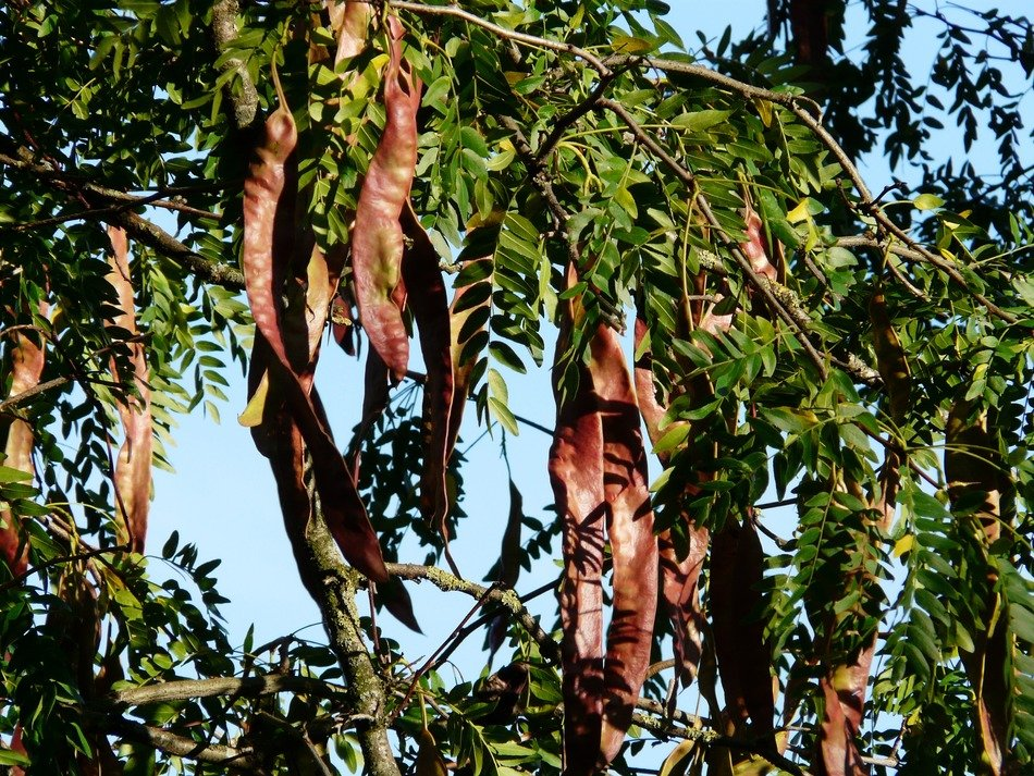 reddish seed pods of honey locust tree