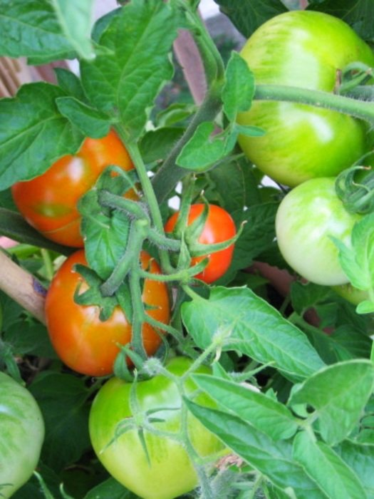 Green and red tomatoes in the garden