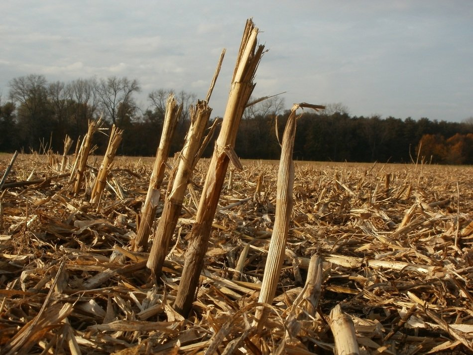 corn stalks on harvested field at autumn