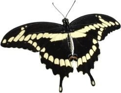 Transparent Butterfly black white