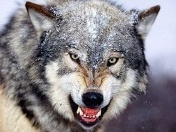 Photo of aggressive wolf muzzle