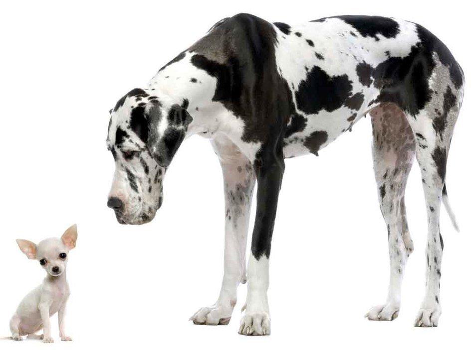 Great Dane And Chihuahua photo