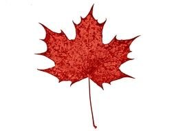 red Leaf of Canadian Maple
