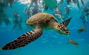 turtle with green shell in blue water