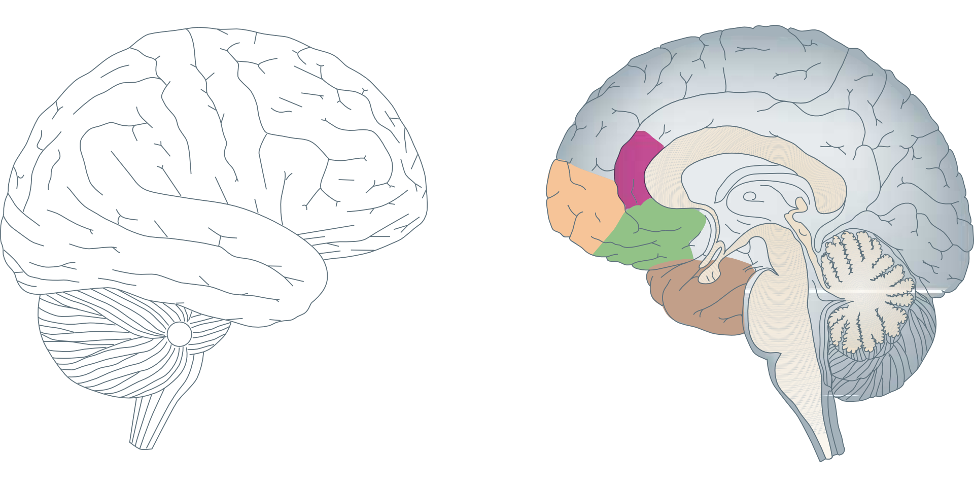 Anatomical Drawing Of The Colored Parts Of The Human Brain Free Image