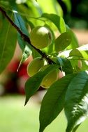 green peaches on a branch in summer