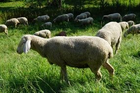 sheep pasture on green grass