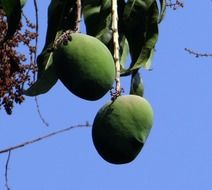 green indian mango fruit on tree