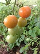 immature tomatoes on a branch
