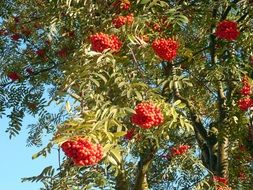 rowan tree with ripe red berries