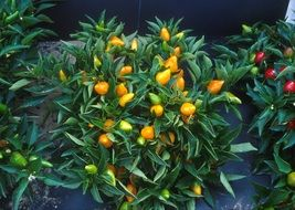 decorative, orange pepper