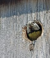 Blue tit in the nesting box
