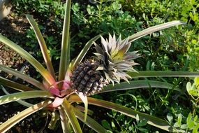 pineapple grow in green grass