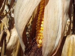 corn in dry leaves
