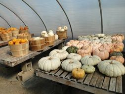 pumpkins and squashes storage in greenhouse