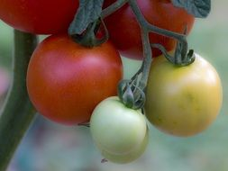 green and red tomatoes vegetables
