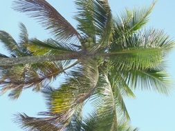 coconut tree on a blue sky
